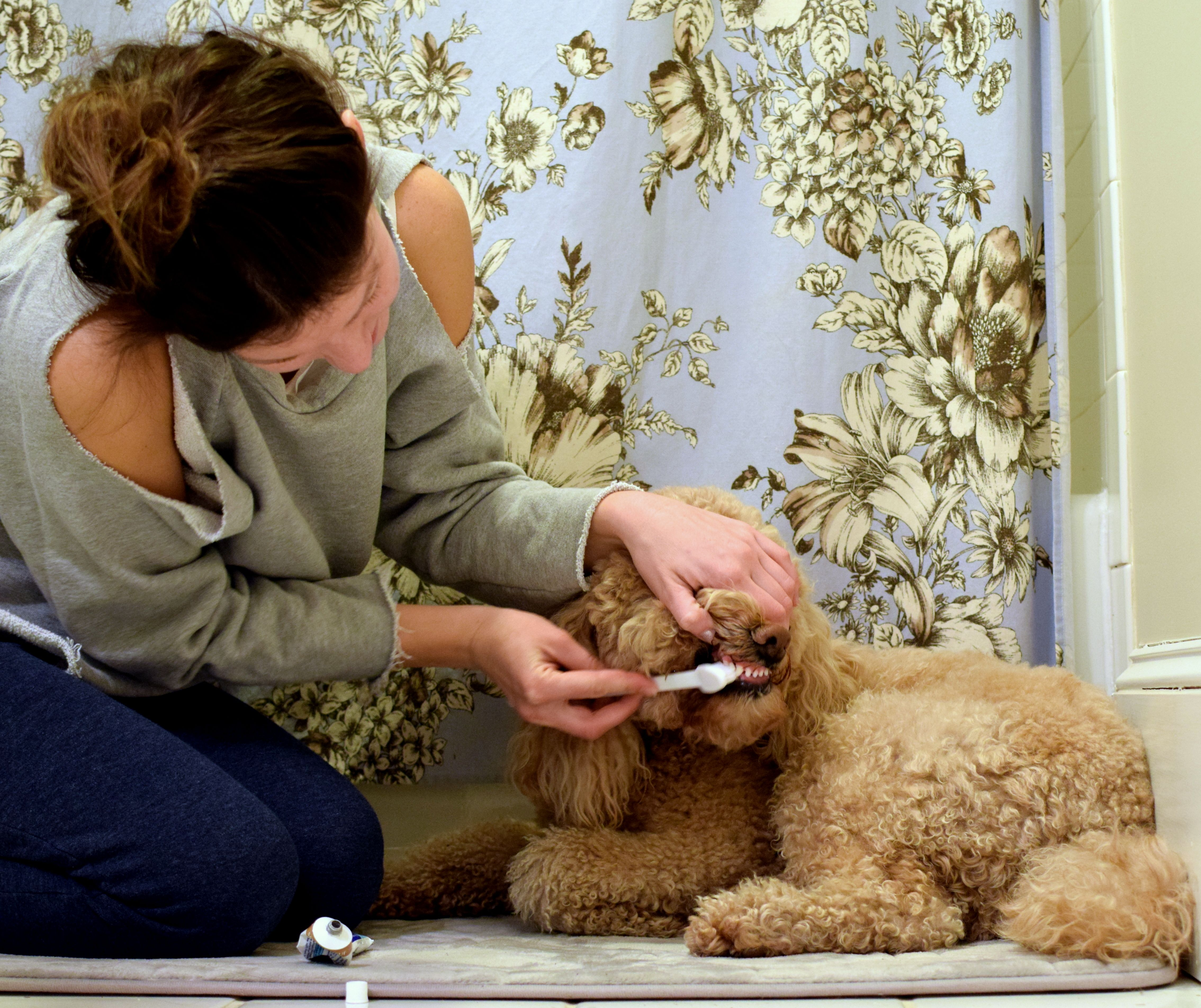 Brushing yours dogs teeth good oral hygiene puppy dog