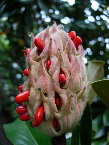 magnolia seed
