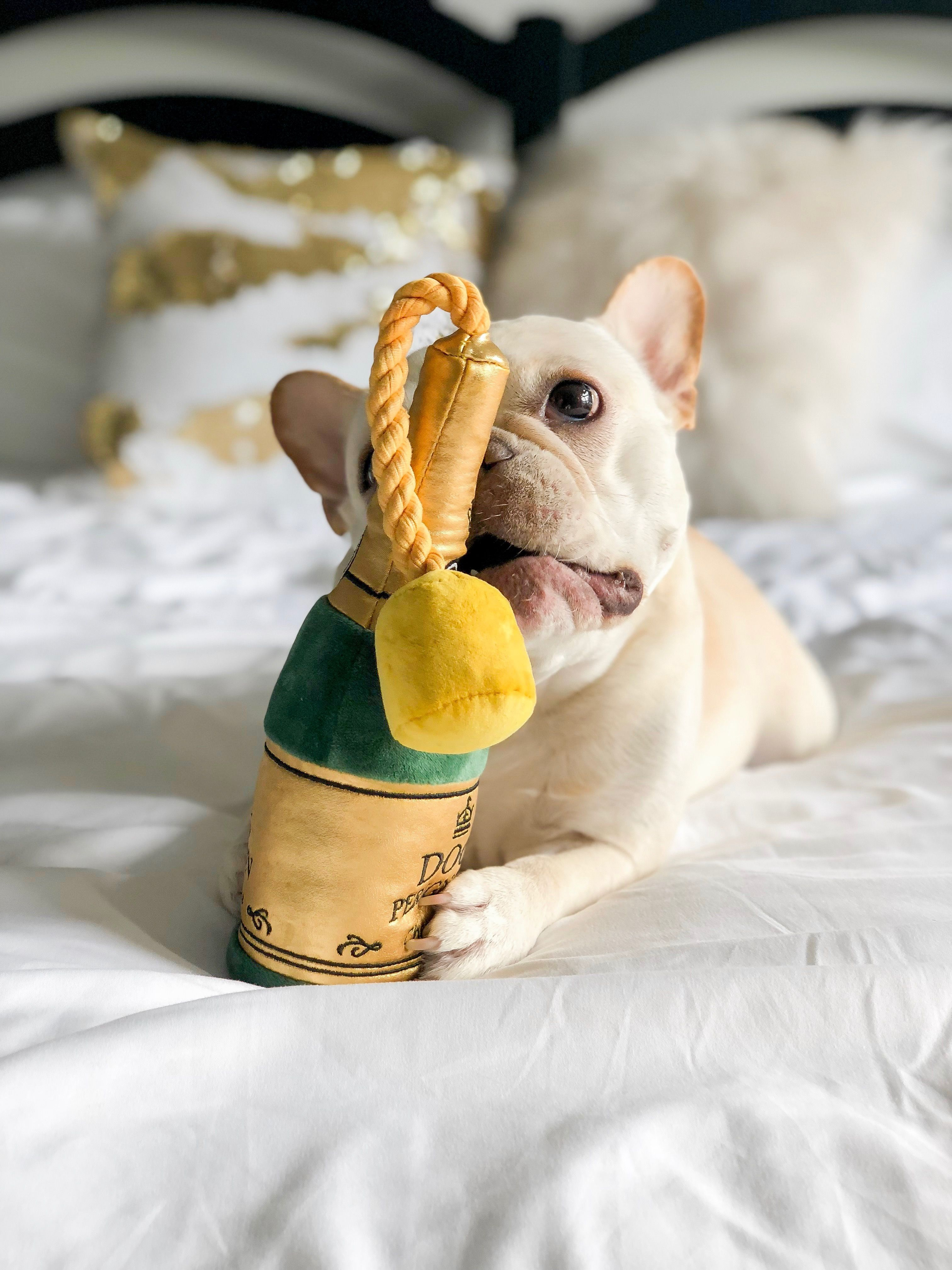 Cream French Bulldog Frenchie bulldog, Bulldog, Cute dogs