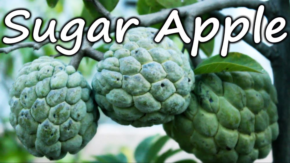 Growing Sugar Apple Sweetsop In A Container Terrace Garden Youtube Sugar Apples Terrace Garden Fruit Plants