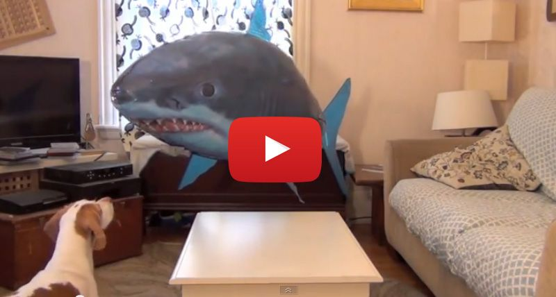 Flying Shark Seriously Messes With Dog's Mind