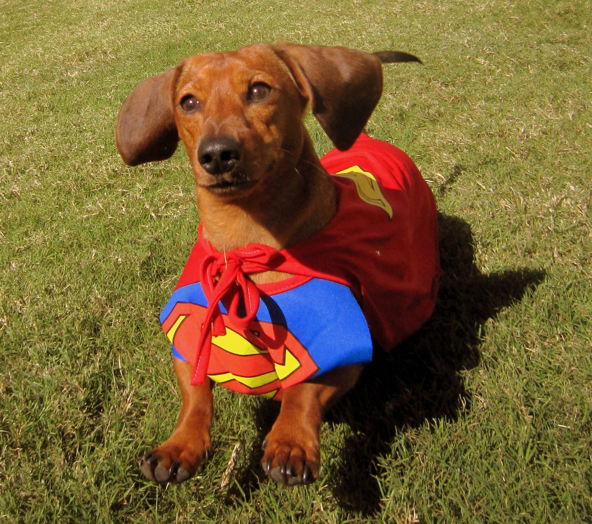 Superman Dachshund Wiener Dog Dachshund Dachshund Puppies