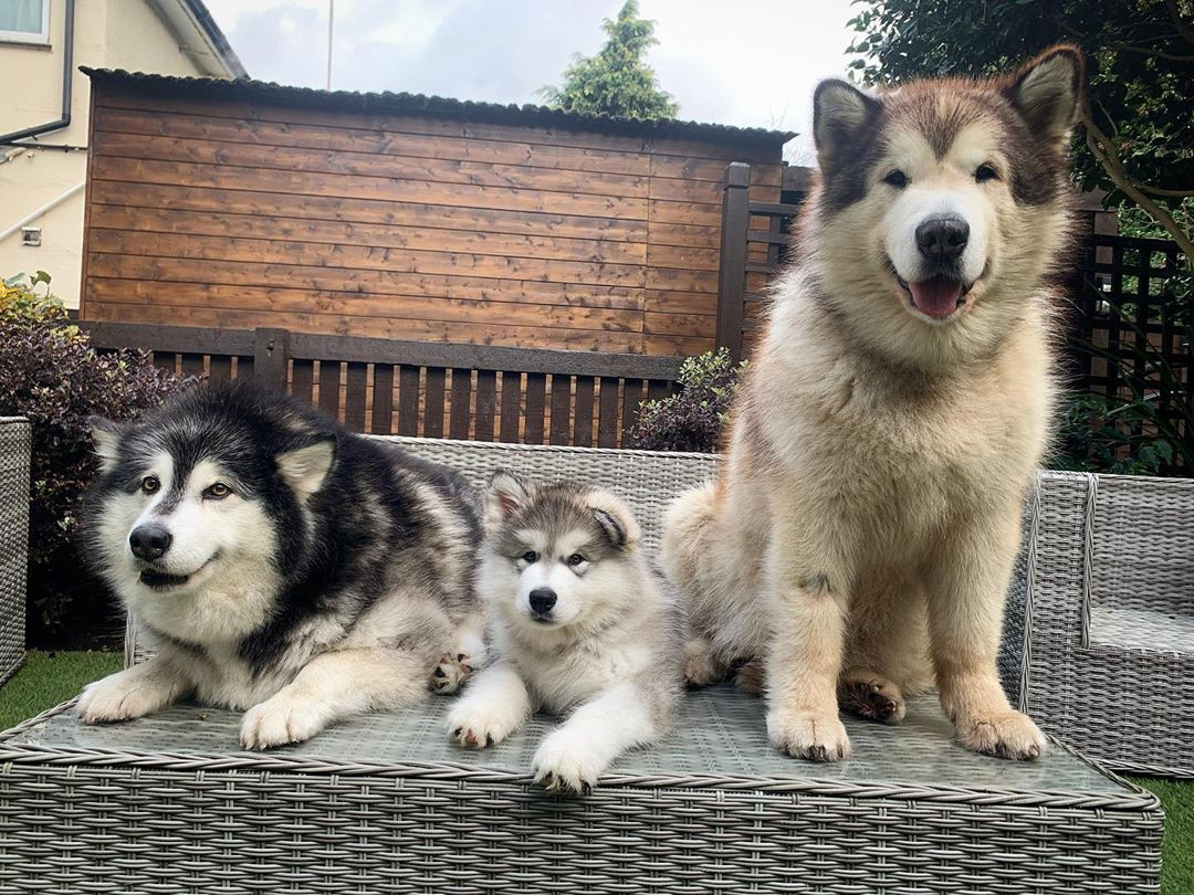 "Phil, Niko & Milo on Instagram: ""We just need 3 more to have a full sled dog team! #alaskanmalamute #malamute #husky #puppy #puppiesofinstagram #alaskanmalamutepuppy"""