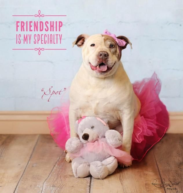 Adopt Spottie On Dogs Happy Dogs Pitbulls
