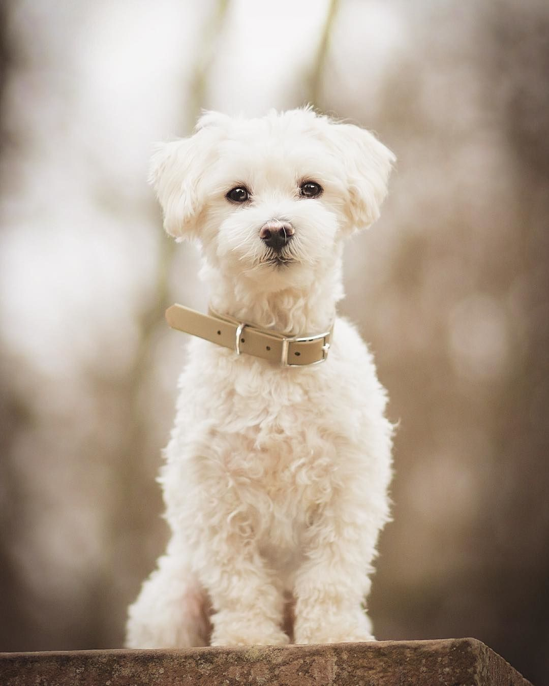 Everything You Want To Know About Maltese Including Grooming