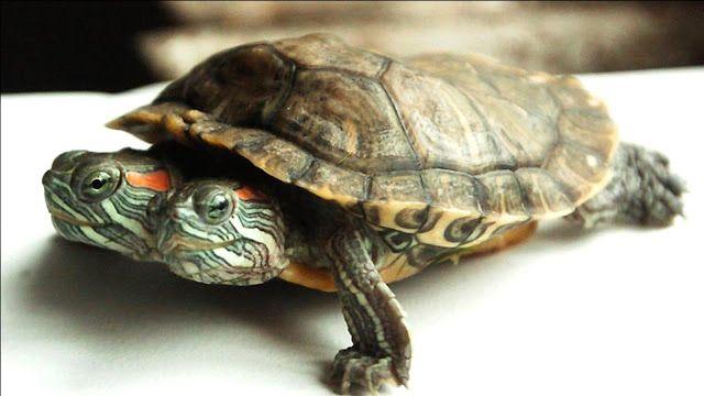 Schildpad met twee koppen