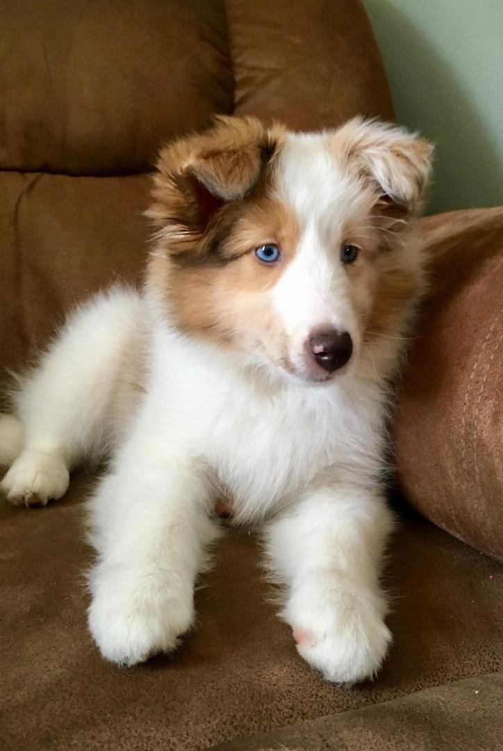 My 10 week old shetland sheepdog pearl httpifttt