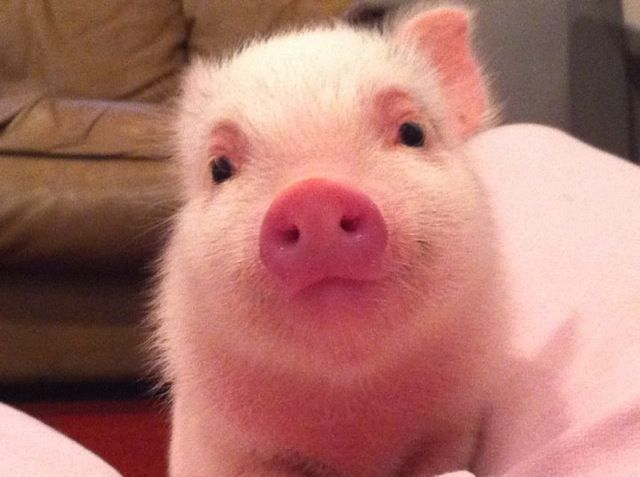 mini pig smiling - Google Search