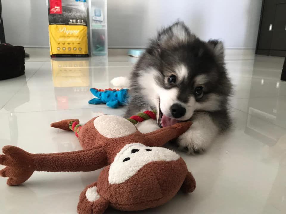Dearest Asher Follow His Instagram Asher Thepomsky Website Www Katiebrookekennels Com Instagram Pomsky Puppies Puppies For Sale Pomsky Puppies For Sale