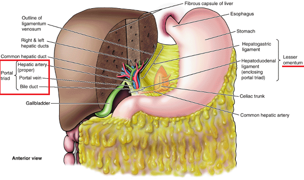Portal Triad Hepatic Artery Portal Vein And Bile Duct Anatomy