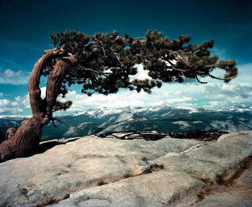 Jeffrey Pine on Sentinel Dome, Yosemite National Park, California  ~  Ansel Adams in Color