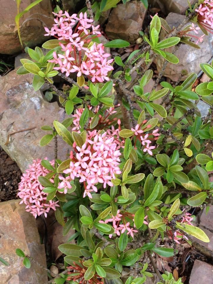 Maltese Cross Pink Tropical Garden Garden Tropical