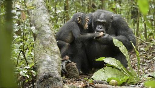 Disneynatures' Chimpanzee  #meetoscar