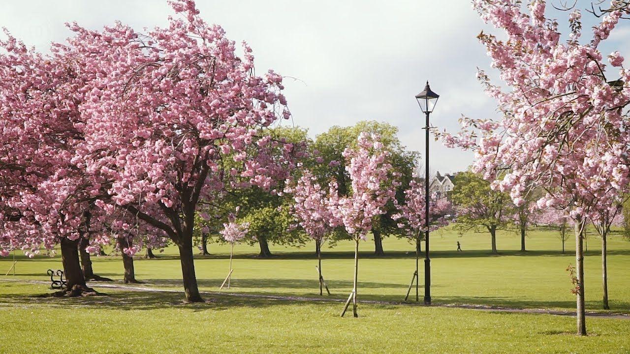 Harrogate Stray Cherry Blossom Trees In Full Bloom Cherry Blossom Tree Blossom Trees Harrogate
