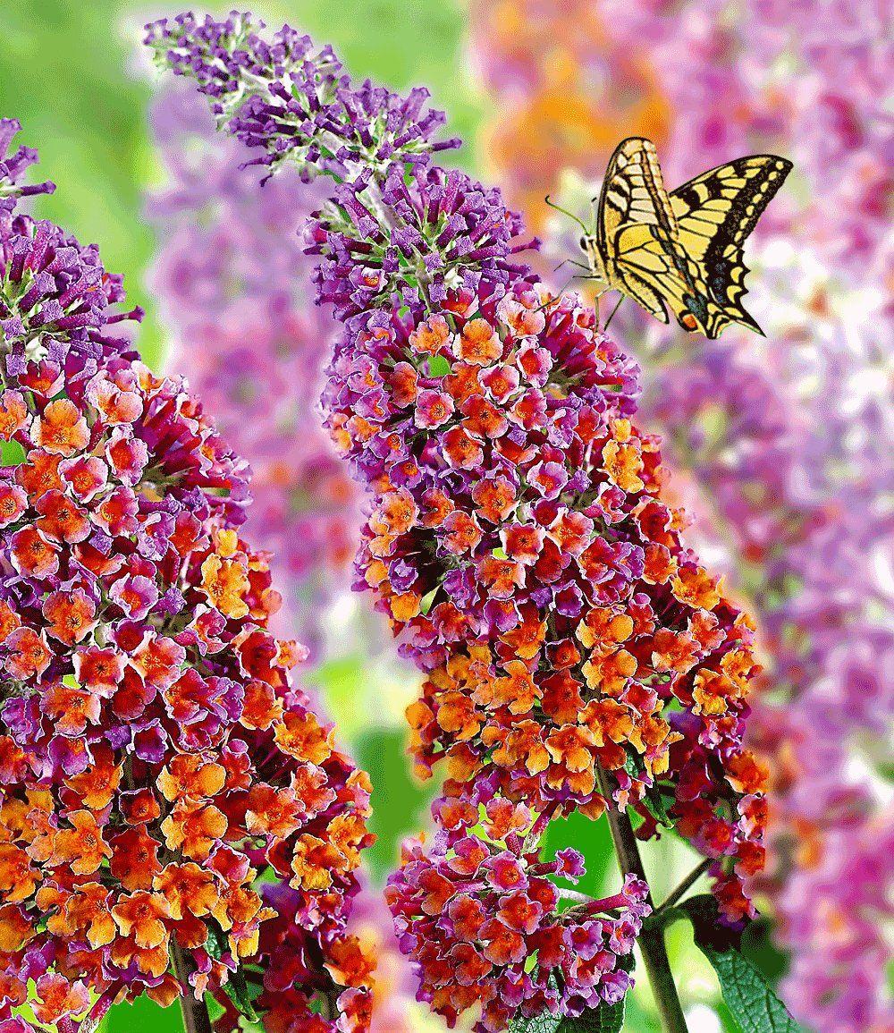 Buddleja Davidii Flower Power Blomsterbilleder Smukke Blomster Og Sommerfuglebusk