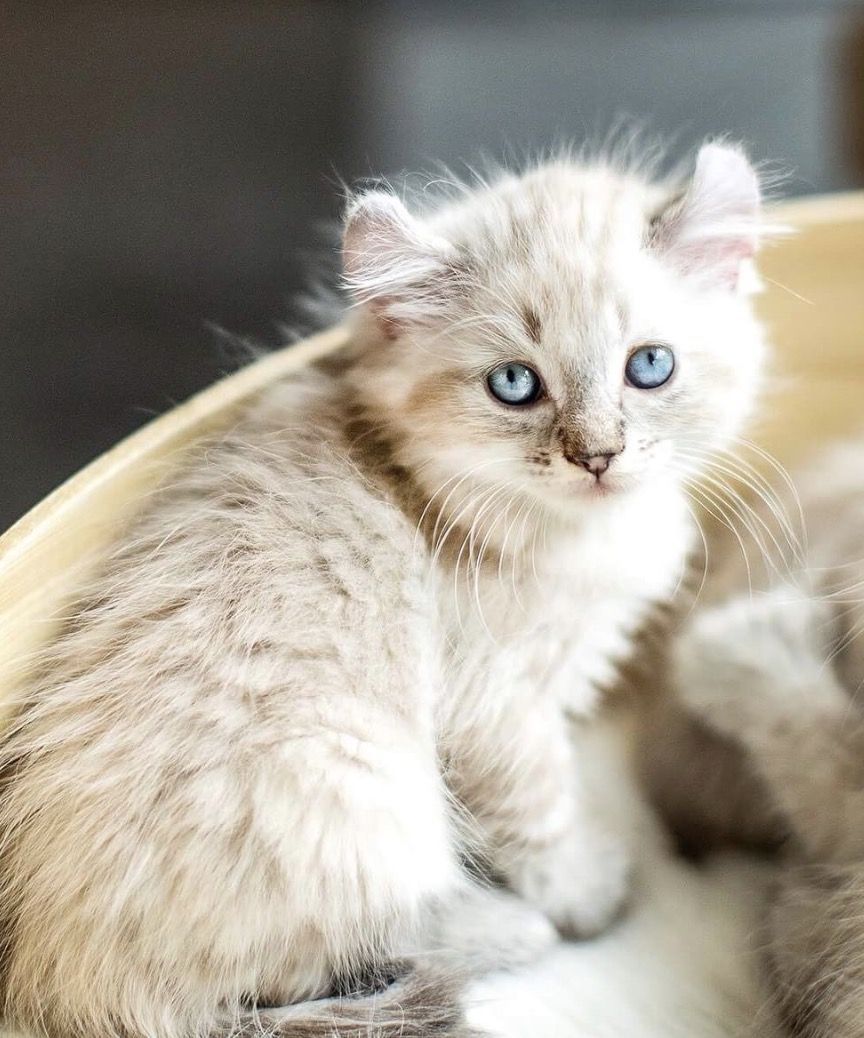 Le Highland lynx cette race de chat méconnue qui nous