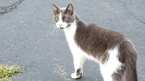 Missing Cat (Middletown) Diesel is a 4 year old cat who