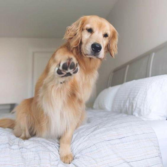 Photo of El Golden Retriever: un trabajador inteligente y un paciente perro familiar – #Dog #Fam …