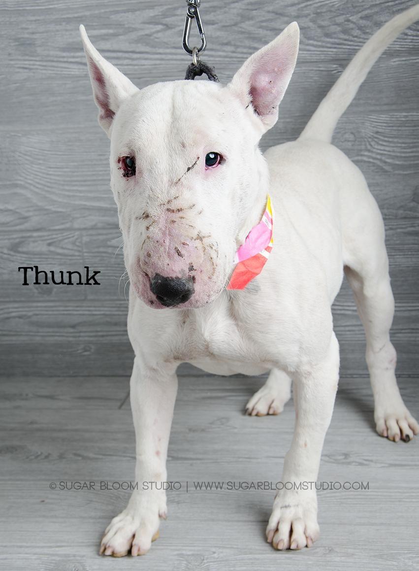 Bull Terrier dog for Adoption in Littleton, CO. ADN414088