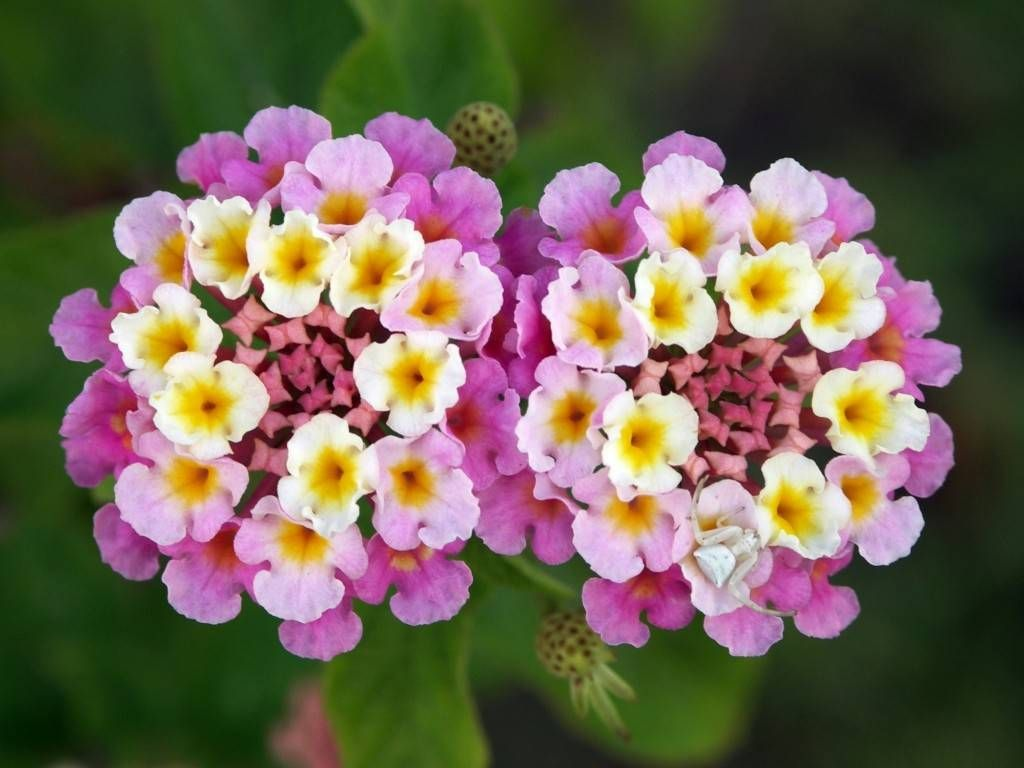 Cool Flowers Read On Lantana Camara Lantana Is A Genus Of About 150 Species Of Perennial Flowering Pla Flower Essences Planting Flowers Lantana Flower