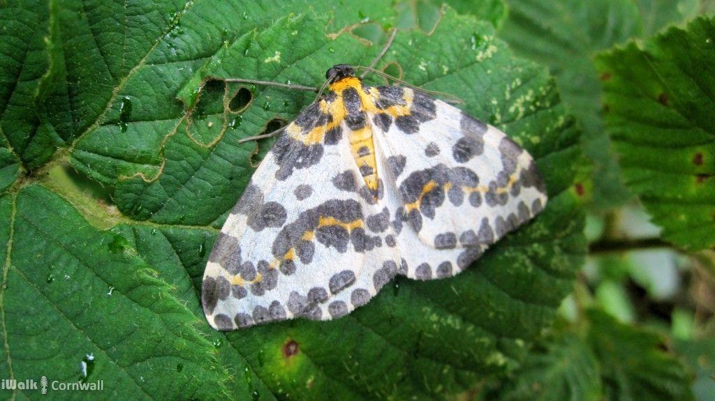 Magpie Moth At Dizzard Cornwall Iron Age North Cornwall Cornwall