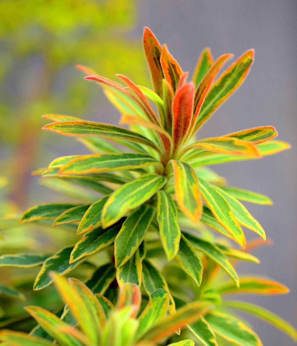 Ascot rainbow euphorbia the perfect fall companion
