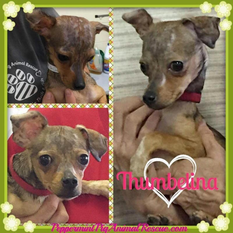 Adopt Thumbelina On Chihuahua Dogs Chihuahua Mix Dogs
