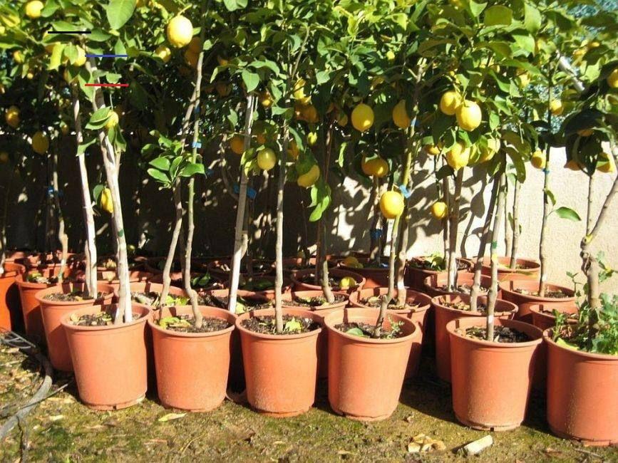 Cómo Cultivar árboles Frutales En Macetas En El Hogar Bioguia Jardineríaenmacetas Aunque No Tengas Un Jardín Gemüseanbau In Kübeln Pflanzen Topfgarten