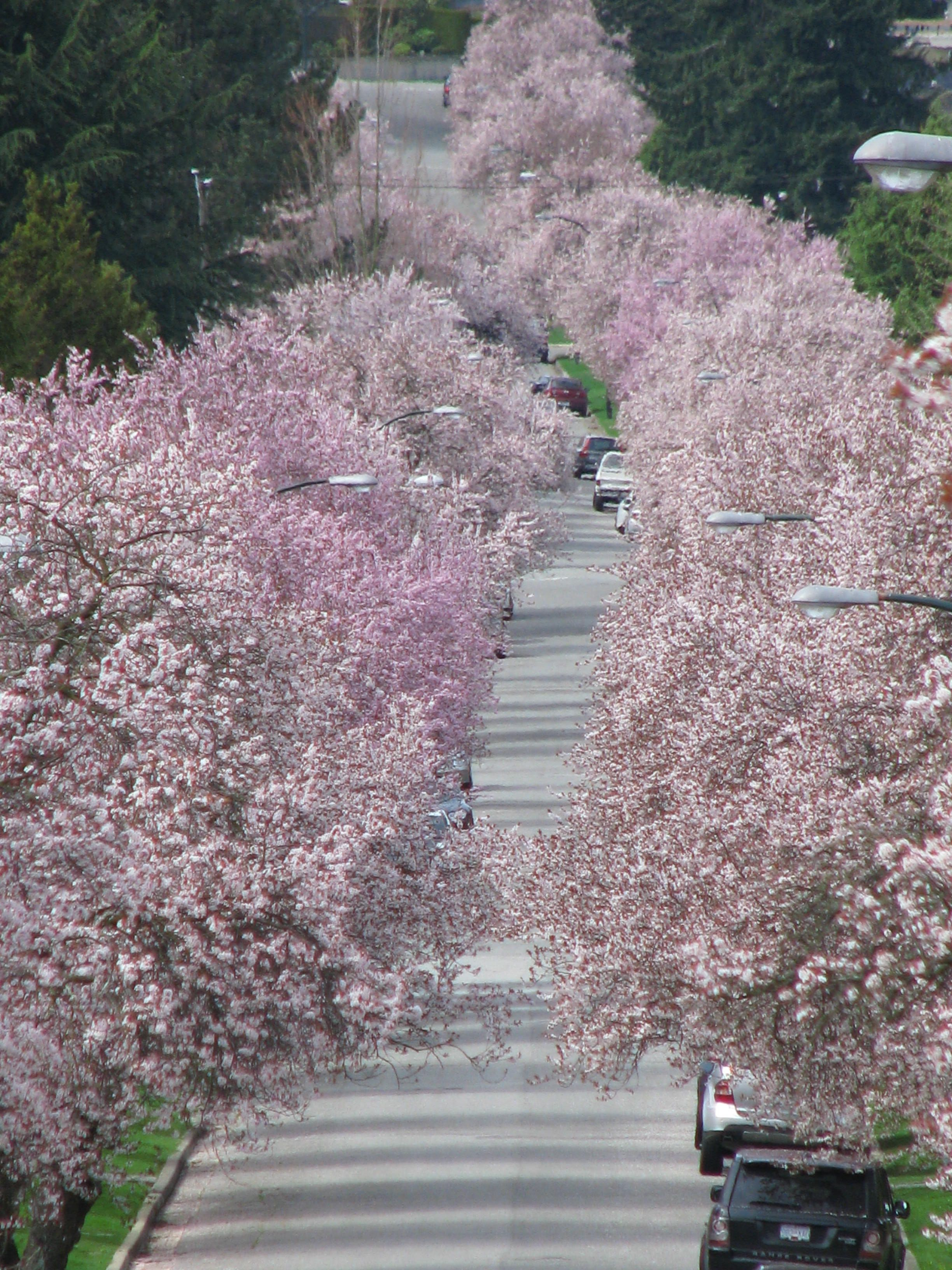 Cherry Blossoms On Yew Street In Vancouver A Must See Stunning Landscape Country Roads Outdoor
