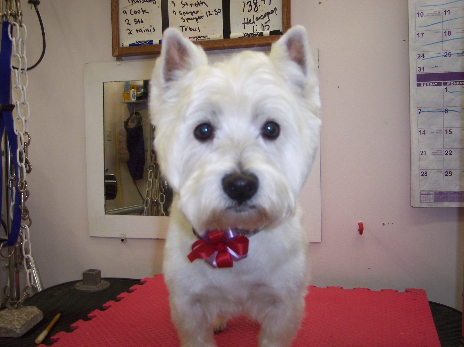 westie short | dog gone it! | short hair cuts, westies
