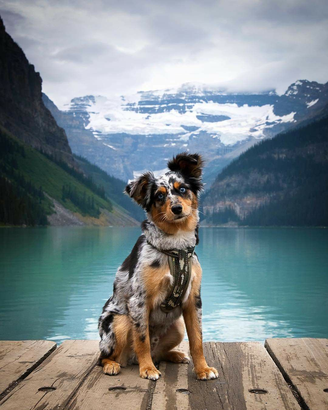 Lake Louise Alberta Canada Aussie Puppies Beautiful Dogs