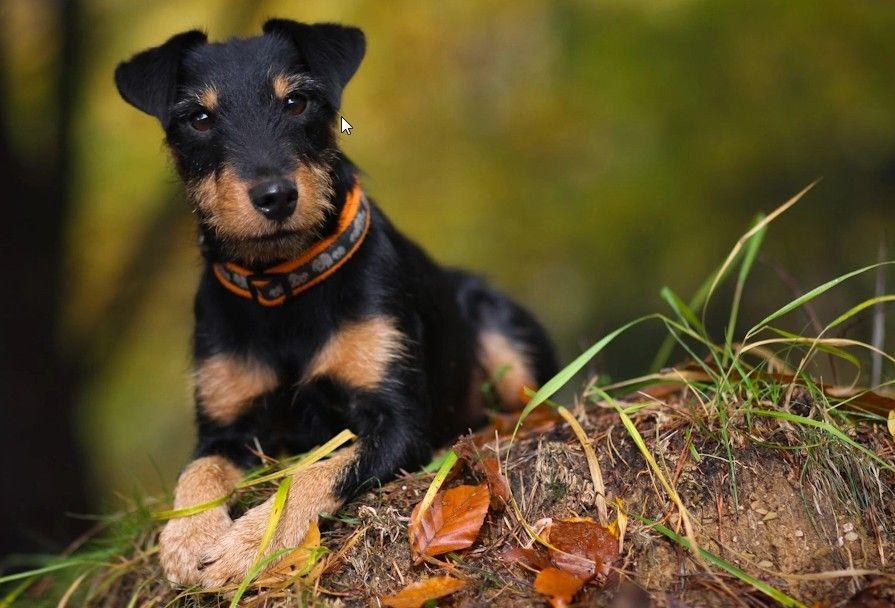 Jagdterrier A Great Hunter And Children's Best Friend