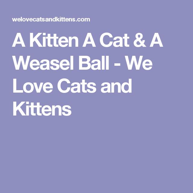 A Kitten A Cat & A Weasel Ball - We Love Cats and Kittens