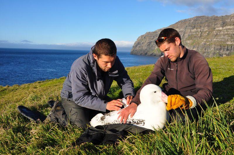 Un albatros viajero de 66 años de vida tendrá a su hijo número 41. Además de ser el ave más vieja del mundo, también será la madre más longeva.