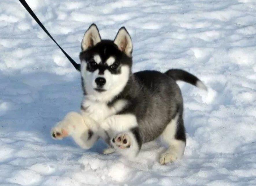 195 Dog Names That Start With V Husky Welpen Niedliche Hunde Schone Hunde