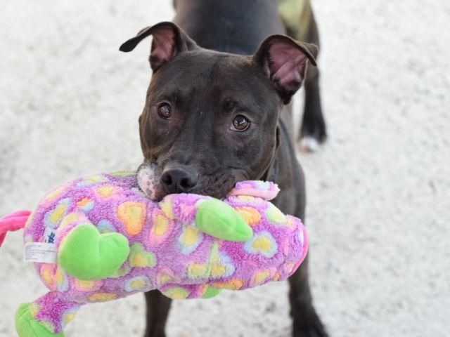 MASON – A1073257  Sweet shy 1 y old puppy on death list today! If you would like to foster or adopt and can't make it to the shelter, please write an email NOW to the Urgent Help Desk at Helpdogs@Urgentpodr.org Their experienced volunteers will assist you one-on-one with rescues and the application process. Transport can be arranged by rescues to the homes of approved fosters or adopters within 3-4 hours of New York City