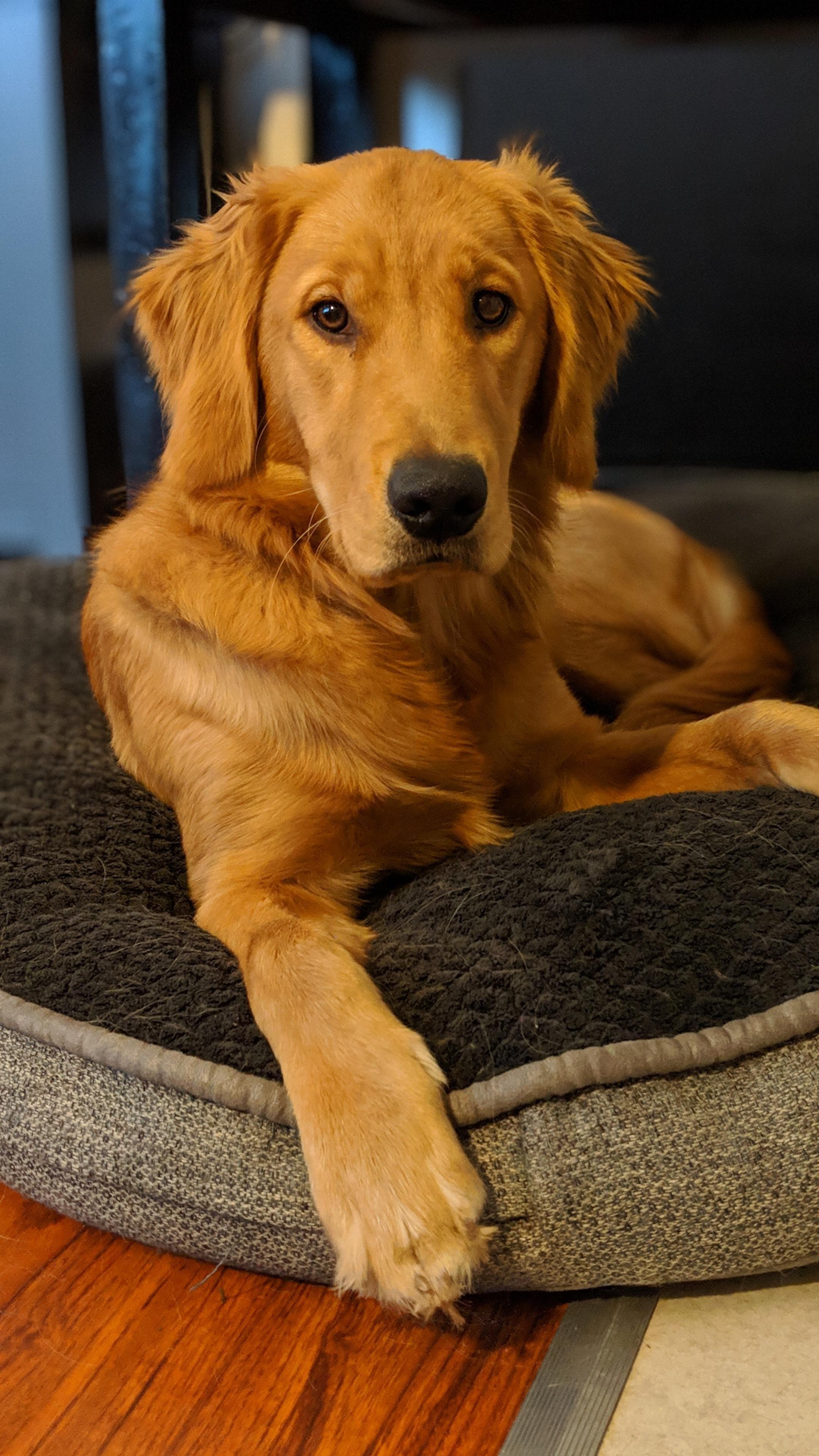 Happy National Golden Retriever Day Golden Retriever Retriever Puppy Stages