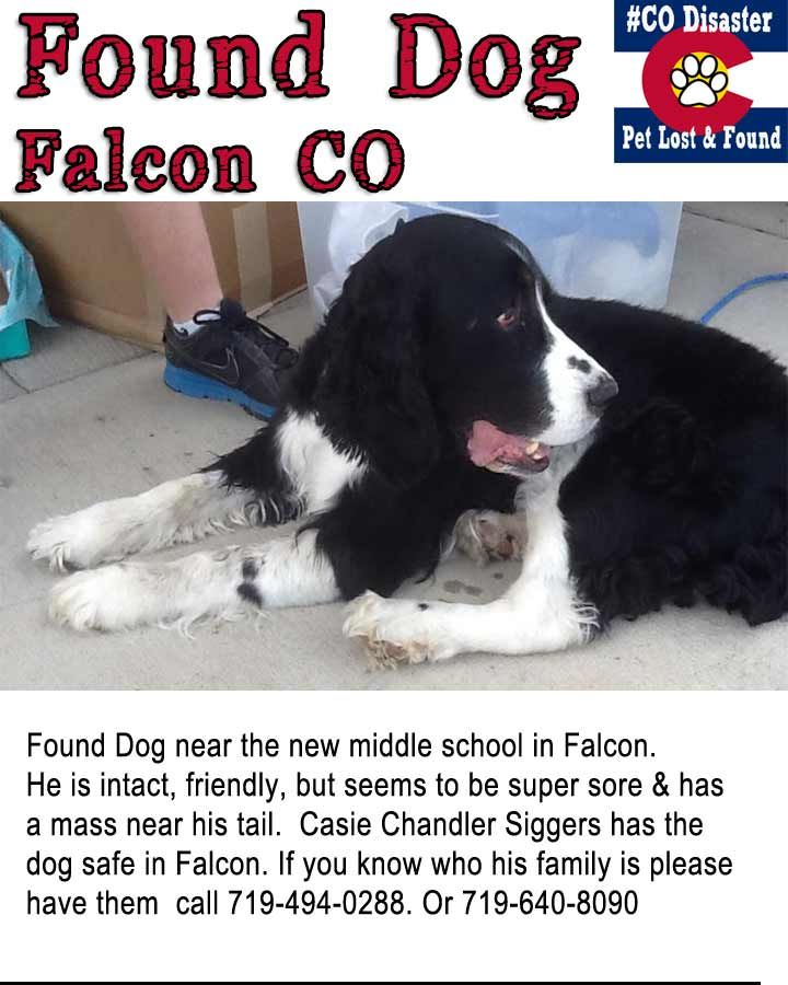 Found Brittany Spaniel in Falcon Colorado She is healthy
