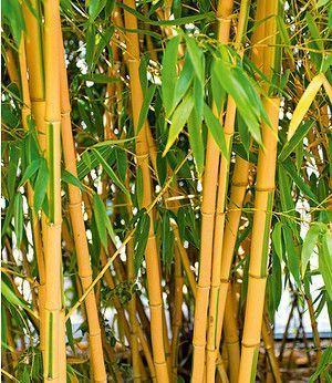 Goldener Peking Bambus,1 Pflanze #bambussichtschutz Goldener Peking Bambus,1 Pflanze #bambussichtschutz Goldener Peking Bambus,1 Pflanze #bambussichtschutz Goldener Peking Bambus,1 Pflanze #bambussichtschutz