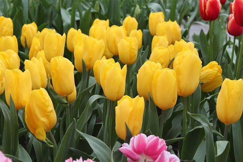 #tulips #tulip #tulipseason #keukenhof #netherlands #spring #springineurope #flowers #bloom #prettytulips #pretty #instalike #instaflower #instaview #traveling #travels #travelgram #eurotrip by flor3ncias