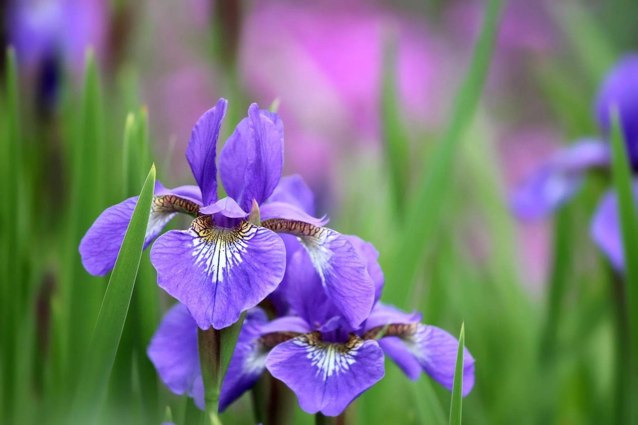 Картинки с фиолетовыми цветами в высоком качестве, картинки англии