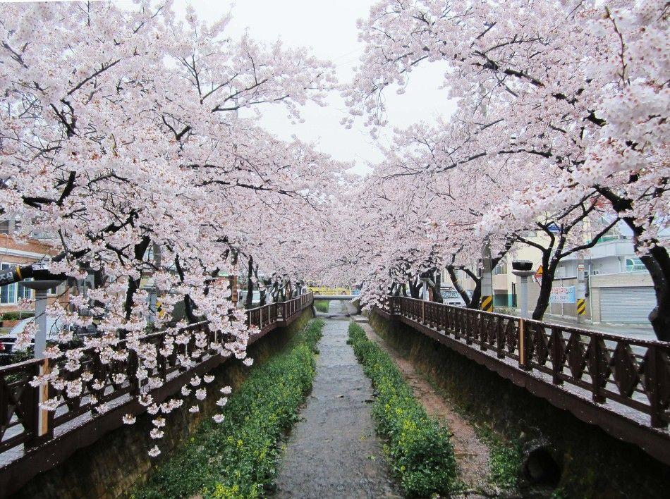 Jinhae Cherry Blossom Festival Korea Cherry Blossom Festival Cherry Blossom Cherry Blossom Japan