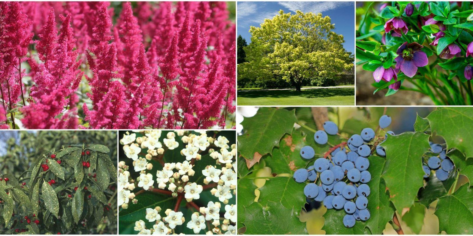 Piante Perenni Resistenti Al Freddo semi di mahonia | piante da esterni, piante da ombra da
