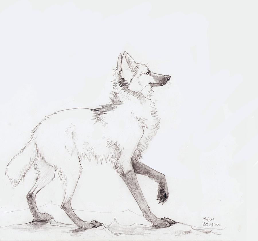 Гривистый волк рисунок