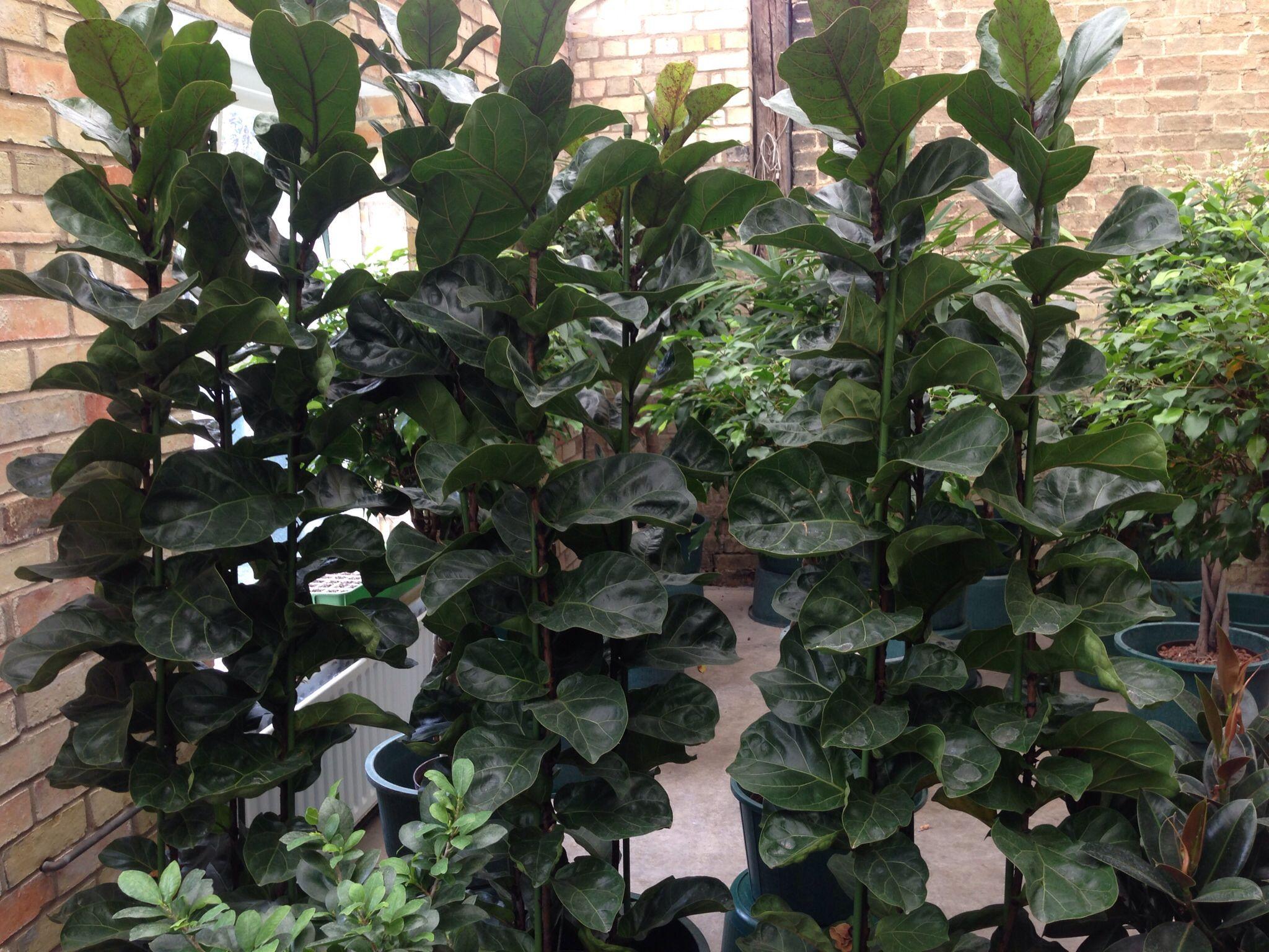 Ficus Lyrata Bambino Cambridge Plant Interiors