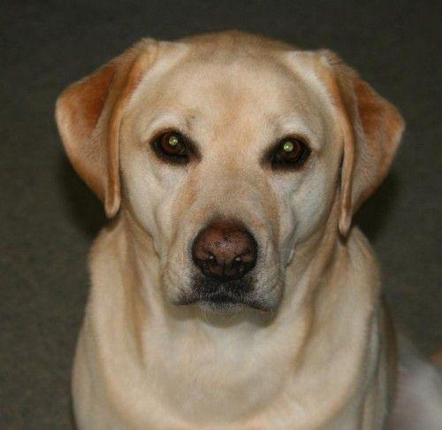 Lost Labrador Bella Vista Nsw Labrador Losing A Dog Bella Vista