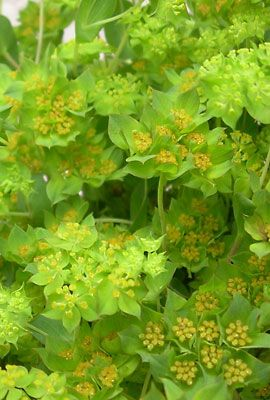 Pin On Plant Id Annuals 1
