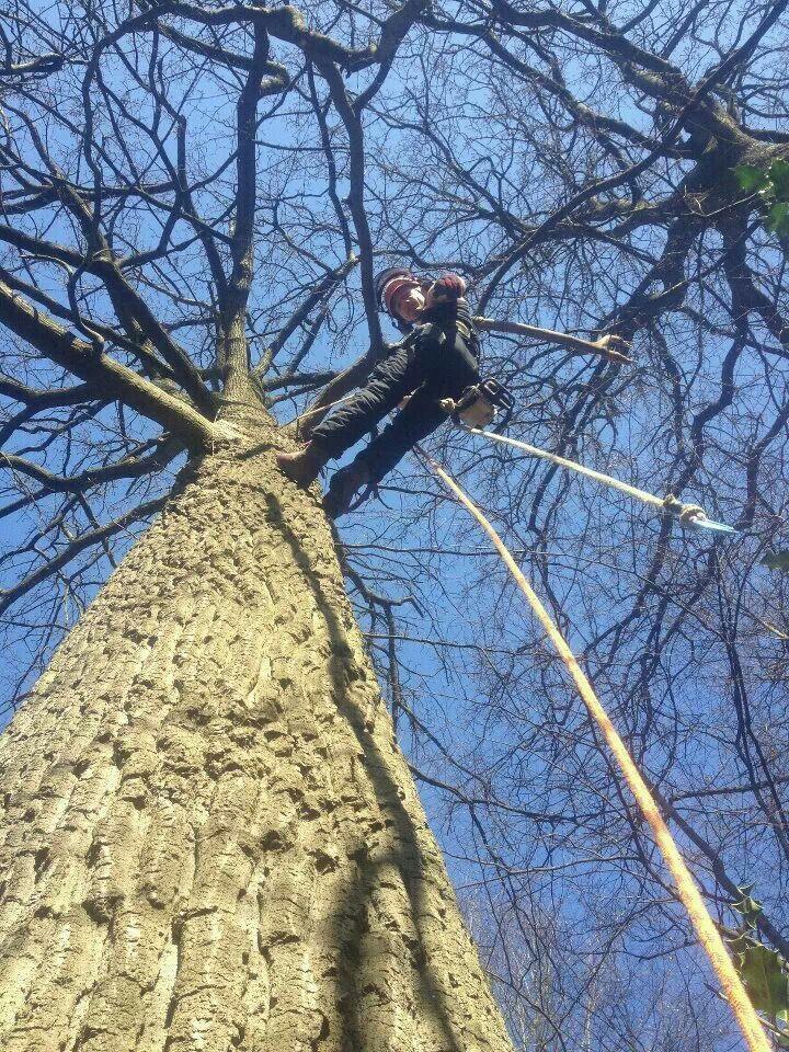 Coming down an oak tree oak tree tree climbers