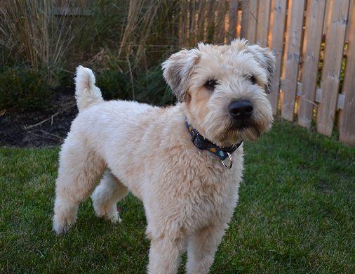 soft coated wheaten terrier haircut wheaten terrier soft coated wheaten terrier haircut photos diesel soft