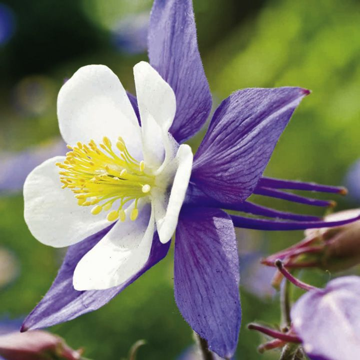 Aquilegia Plant Blue Star At Suttons Seeds Sutton Seeds Plants Star Flower